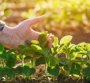 Engineering healthier, more plentiful crops to aid developing countries