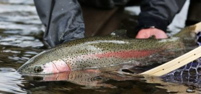 Rainbow trout being monitored