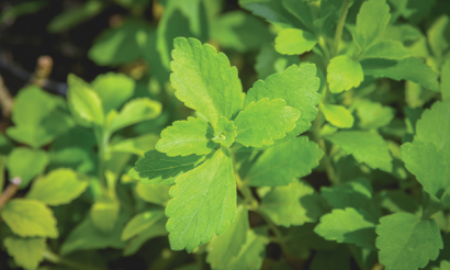 Stevia: an ally to healthy lifestyles