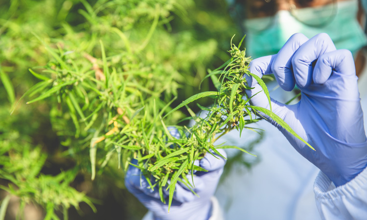 Research suggests THC rises in hemp due to genetics, not growing conditions