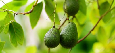 Apeel Avocados to be available in the EU for the first time