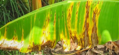 Field test detects banana fungus TR4 faster than ever