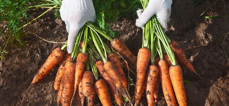 Beast from the East and blistering summer cause carrot stocks to plummet
