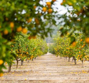 Co-creating citrus flavours with virtual reality