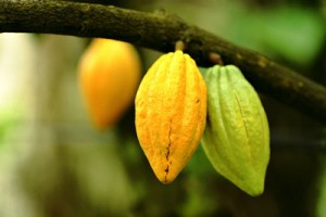 cocoa-production