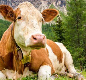 cow-ruminal-acidosis