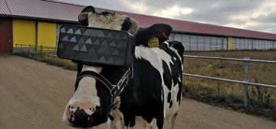Russian farms trials VR cow headset to increase milk production