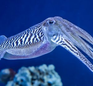Trawled cuttlefish added to MCS 'Fish to Avoid' red list