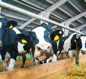 Study examines environmental footprint of dairy cows over 50 years