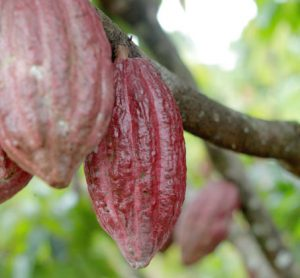 divine-chocolate-sustainability-fairtrade-ghana1