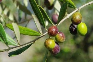 food-security-olive