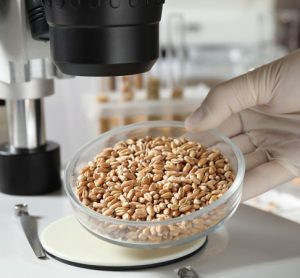 Sampling for mycotoxins in grain