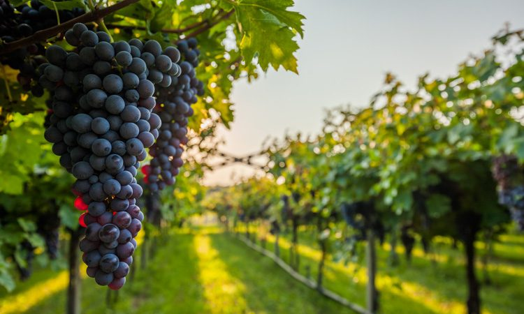 Vineyard to research effects of climate change on wine growing