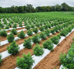 USDA announces details of risk management for hemp producers