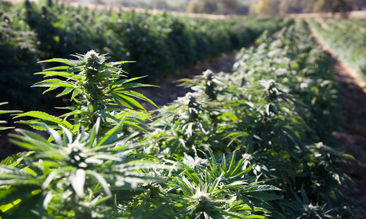 USDA establishes Domestic Hemp Production Program