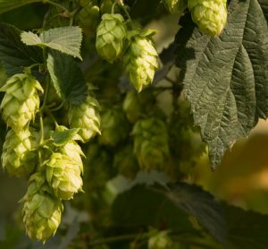 Craft-beer boom linked to record-number of US states growing hops