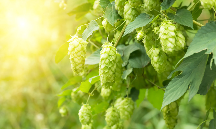 Can hops compounds help with metabolic syndrome?