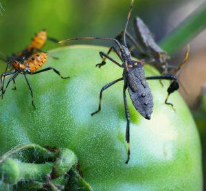 Study evaluates economic impact of insect pest management