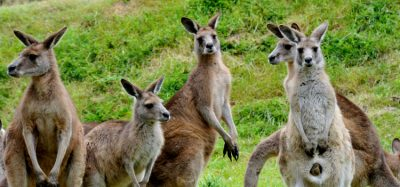 Kangaroos to be harvested and used in pet food