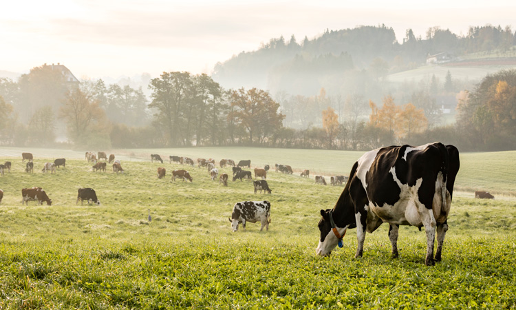 Could GM help cut livestock methane emissions?