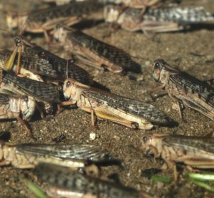 Urgent locust campaign needed to protect African food security, says FAO