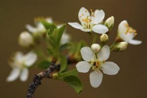 Blossom of prunus mahaleb.