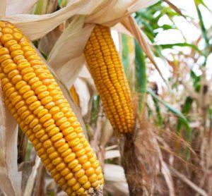 maize-gmo