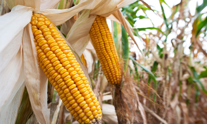 genetically modified gmo food market to reach 130 million tons by