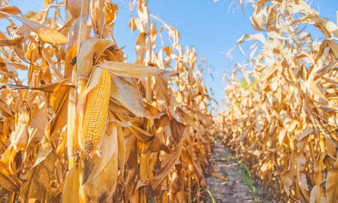maize-yield-climate-change-soil-management