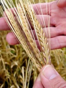 Maris Otter barley