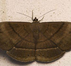 moth-africa-crop-security