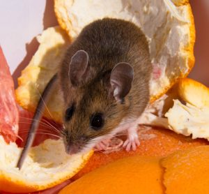 BPCA publishes tool to help food businesses reduce risks posed by mice