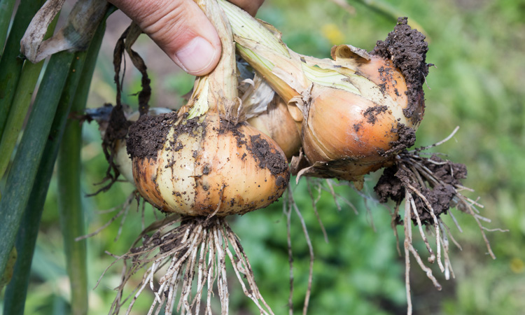 Dormant foliar disease becomes dominant in New York onion crops
