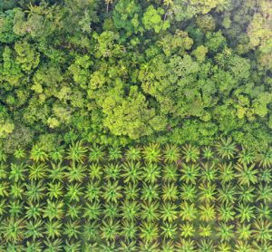 Could pasture land be a sustainable alternative to palm oil plantations?