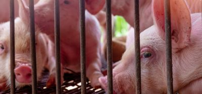 EFSA confirms nine European countries still affected by African swine fever