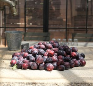 South African stone fruit industry combats prolonged drought