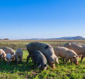 pork-aces