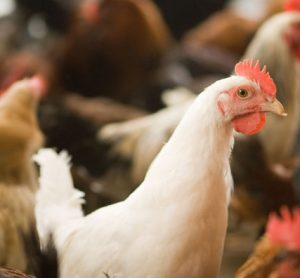 poultry-campylobacter-finland