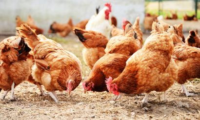 poultry-antibiotics-ban-mcdonalds
