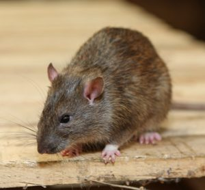 Trade body issues guide to food sector for tackling rats