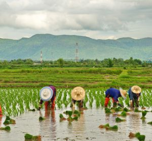 Climate-smart rice production is key for global food security, says report