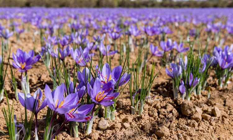Study shows that saffron extract can reduce depression in adults