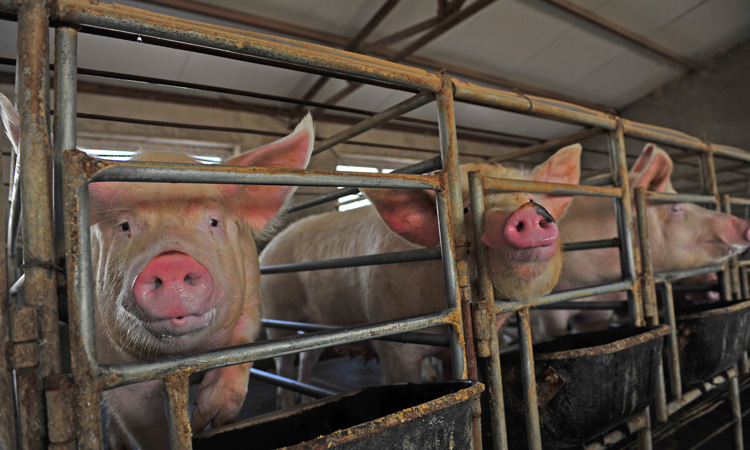 Chinese gangs spread rumours to exploit pork crisis, says report