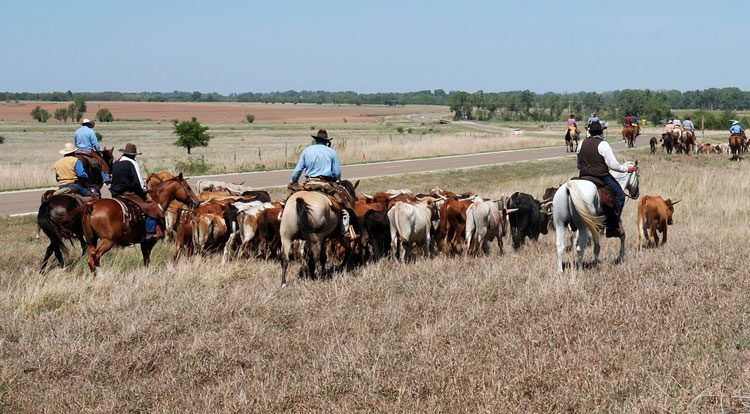 Herding cattle on a sustainable farm processing