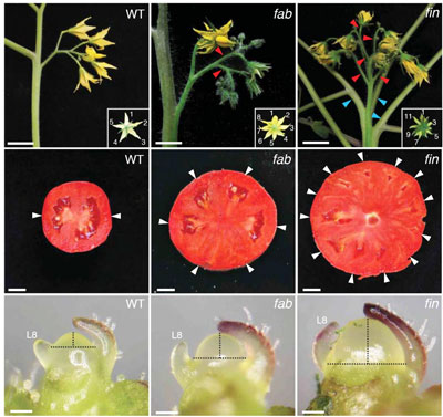 Scientsts have identified a set of genes that control stem cell production in tomato, the key to fruit size and explaining the origin of giant fruits like the beefsteak. These images show the impact of specific gene mutations on plant architecture and flower formation (top row); fruit size (middle row), and the size of the plant's growing tip, called the meristem (bottom row). The left column (top to bottom), shows a wild-type tomato plant. Compare this with two mutants: one, called fab (middle column), the other called fin (right column). Top row: While the wild-type plant has no branches on the stem that supports flowers, the two mutants show branching -- called fasciation -- and the flowers have extra petals [insets]. Middle row: the wild fruit has 2 compartments, called locules [white arrows], bearing a jelly-like substance and seeds; the mutants have additional locules. Bottom row: the meristems of the two mutants are larger than that of the the wild plant, indicating that they contain more stem cells. CREDIT: Lippman Lab, CSHL