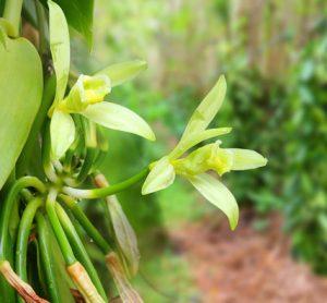 vanilla-farming-prova-barry-callebaut