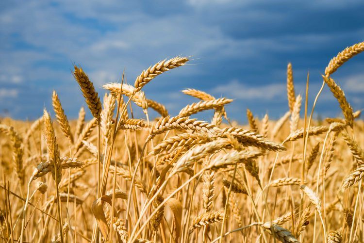 Krefeld to produce wheat