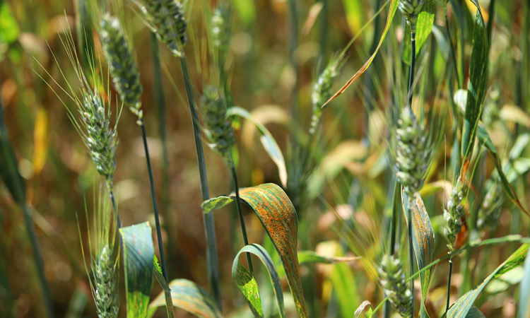 Origin of deadly wheat pathogen discovered