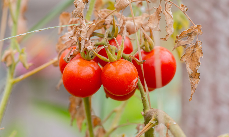 Wild tomato pathogen resistance has industry implications, study suggests
